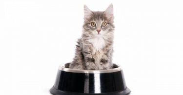 Nourrir convenablement un chaton